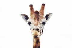Giraffe head close up, isolated Royalty Free Stock Photo