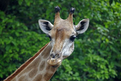 Giraffe head Close up Stock Images