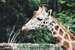 Giraffe head close up, in nature Stock Photography
