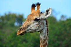 Giraffe head close up from side. Giraffe head shot from the side close up Stock Photos