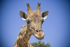 Giraffe head close up in south africa. Giraffe head and long neck close up, with a blue sky, in south africa Royalty Free Stock Photography