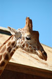 Giraffe Head Closeup Royalty Free Stock Images