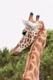 Giraffe head closeup back sight Stock Image