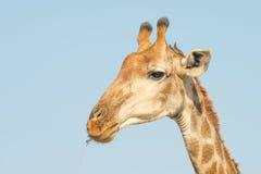 Giraffe head closeup Stock Photography