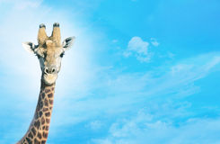 Giraffe with head in clouds, Stock Photos