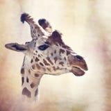 Giraffe head digital painting. Digital painting of giraffe portrait stock image