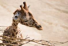 Giraffe head eating tree branch Stock Photos
