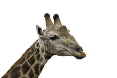 Giraffe Head and Neck. Close-up of a giraffes head and face, isolated on white background Royalty Free Stock Image