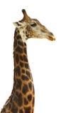 Giraffe head face Stock Photos
