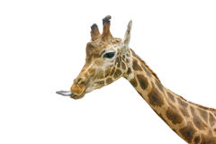 Giraffe head face Stock Images