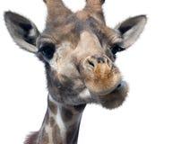 Giraffe head face Stock Image