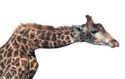 Giraffe head face Stock Photography