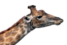 Giraffe head face Royalty Free Stock Images