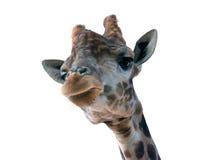 Giraffe head face Royalty Free Stock Photography