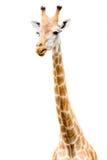 Giraffe head face look funny Royalty Free Stock Image
