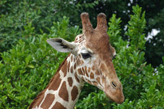 Giraffe head and neck. Head and neck of giraffe (Giraffa camelopardalis) with background of tree foliage Royalty Free Stock Photography