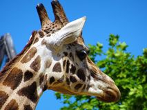 Giraffe Head Beside Green Leafed Tree Stock Images