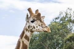 Giraffe head held high Royalty Free Stock Image