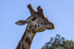 Giraffe head held high stock photos