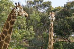 Giraffe head held high Royalty Free Stock Photography