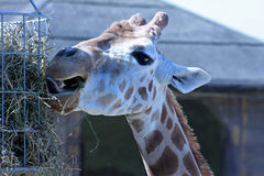 Giraffe head and horns Royalty Free Stock Photo