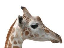 Giraffe head isolated Stock Photo