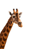 Giraffe head isolated. African giraffe head looking isolated stock photo