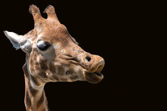 Giraffe head. Only, isolated on black background. Giraffe was trying to blow away an annoying bee Royalty Free Stock Photo