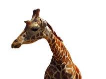 Giraffe head isolated closeup Stock Photos