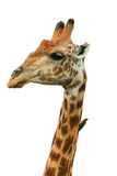 Giraffe head isolated Giraffa camelopardalis Stock Photo
