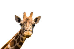 Giraffe head isolated on white background. Copy space available royalty free stock image
