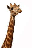 Giraffe Stock Images