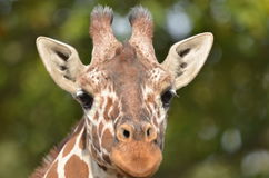Giraffe head Stock Photo
