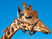 Giraffe head looking right. Giraffe head looking to the right side Royalty Free Stock Photography