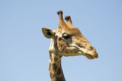 Giraffe head Stock Images