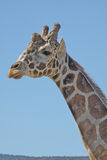 Giraffe Head and neck. A close up of the head and neck of a reticulated giraffe Stock Images