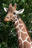 Giraffe head and neck. A portrait of a Giraffe head and neck Royalty Free Stock Images