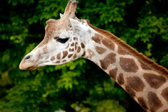 Giraffe Head and Neck. A landscape view of a Giraffe head and neck Stock Image