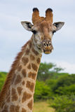 Giraffe head and neck. A giraffe portrait with the giraffe looking at the camera Stock Images