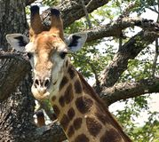 Giraffe Head and Neck. Giraffe in Hluhluwe-Umfolozi Game Reserve, South Africa Stock Images