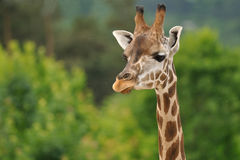 Giraffe head with neck. On green background Stock Photography