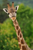 Giraffe head with neck. On green background Royalty Free Stock Image