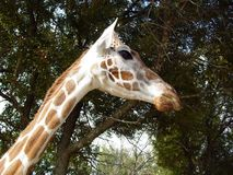 Giraffe Head and Neck royalty free stock photography
