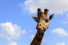 Giraffe head and Neck. Head and neck of a Giraffe Stock Images