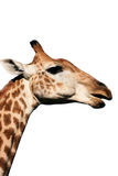 Giraffe head and neck. Neck and head of a large giraffe eating Stock Photos