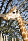 Giraffe head and neck. Against wooden posts and tree Royalty Free Stock Photo