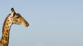 Giraffe head and Neck against blue sky. A Side view of a Giraffe, showing head and neck against clear blue sky in the African Savannah.nLandscape Format with Royalty Free Stock Image