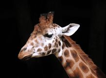 Giraffe Head and Neck against a solid black background. A close up photograph of a Giraffe`s head and neck. Focus on Subject. Solid black background. Isolated Stock Image