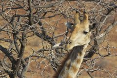giraffe head and neck with a bush background Royalty Free Stock Image