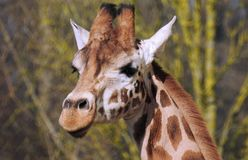Giraffe Head and Neck Close Up. A Giraffe looks at the photographer while it`s picture is taken Royalty Free Stock Photos